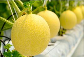 Nông dân Quỳ Hợp – Nghệ An trồng dưa lưới công nghệ Nhật lãi cao
