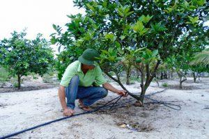 Tưới nhỏ giọt quấn gốc: Giải pháp tưới hiệu quả cho cây ăn trái, cây công nghiệp